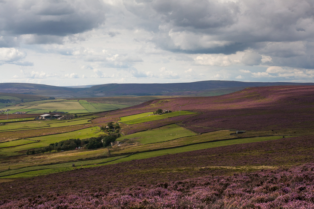 The Moor in heather
