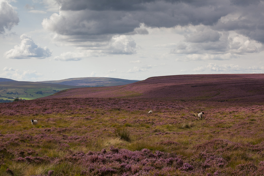 Sheep grazing in the heather