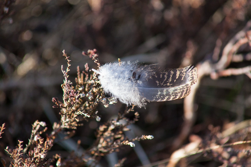 Grouse feather
