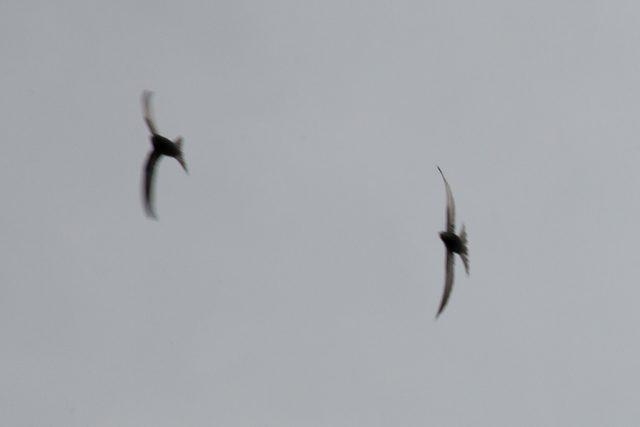 Swifts