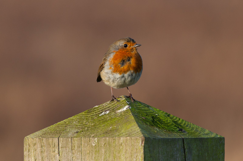 Robin, Dee Marshes