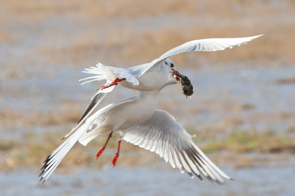 Two black-headed gulls squabble over a vole
