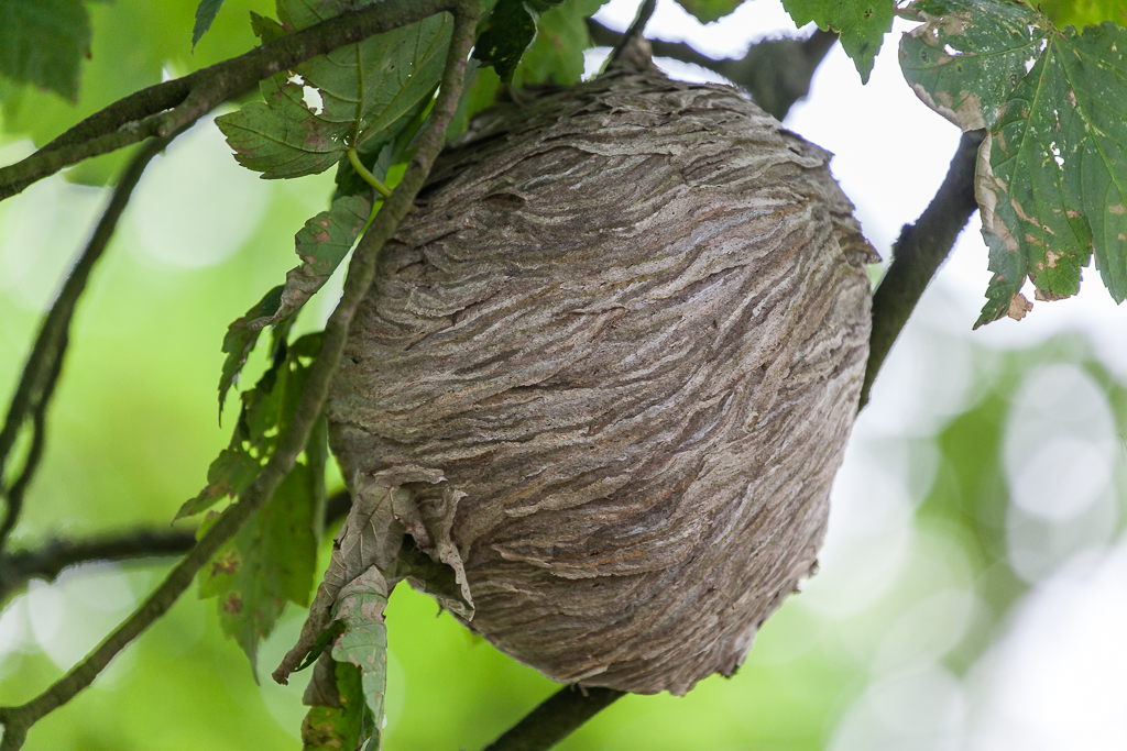 Wasps' nest shot with SLR.