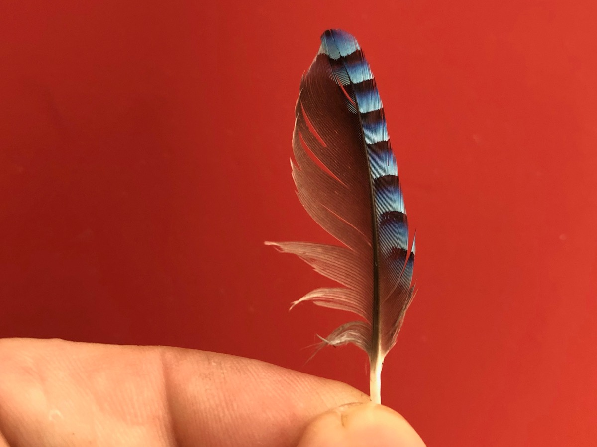 Jay's feather