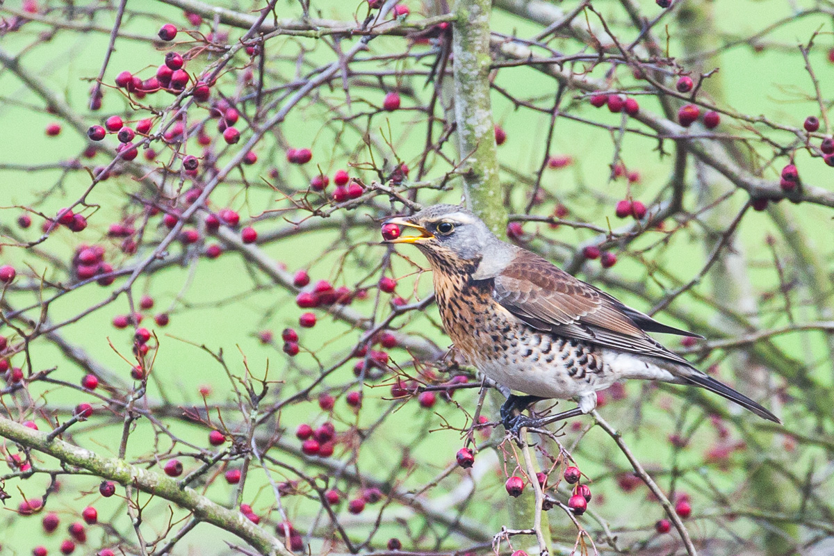 Fieldfare on our hawthorn