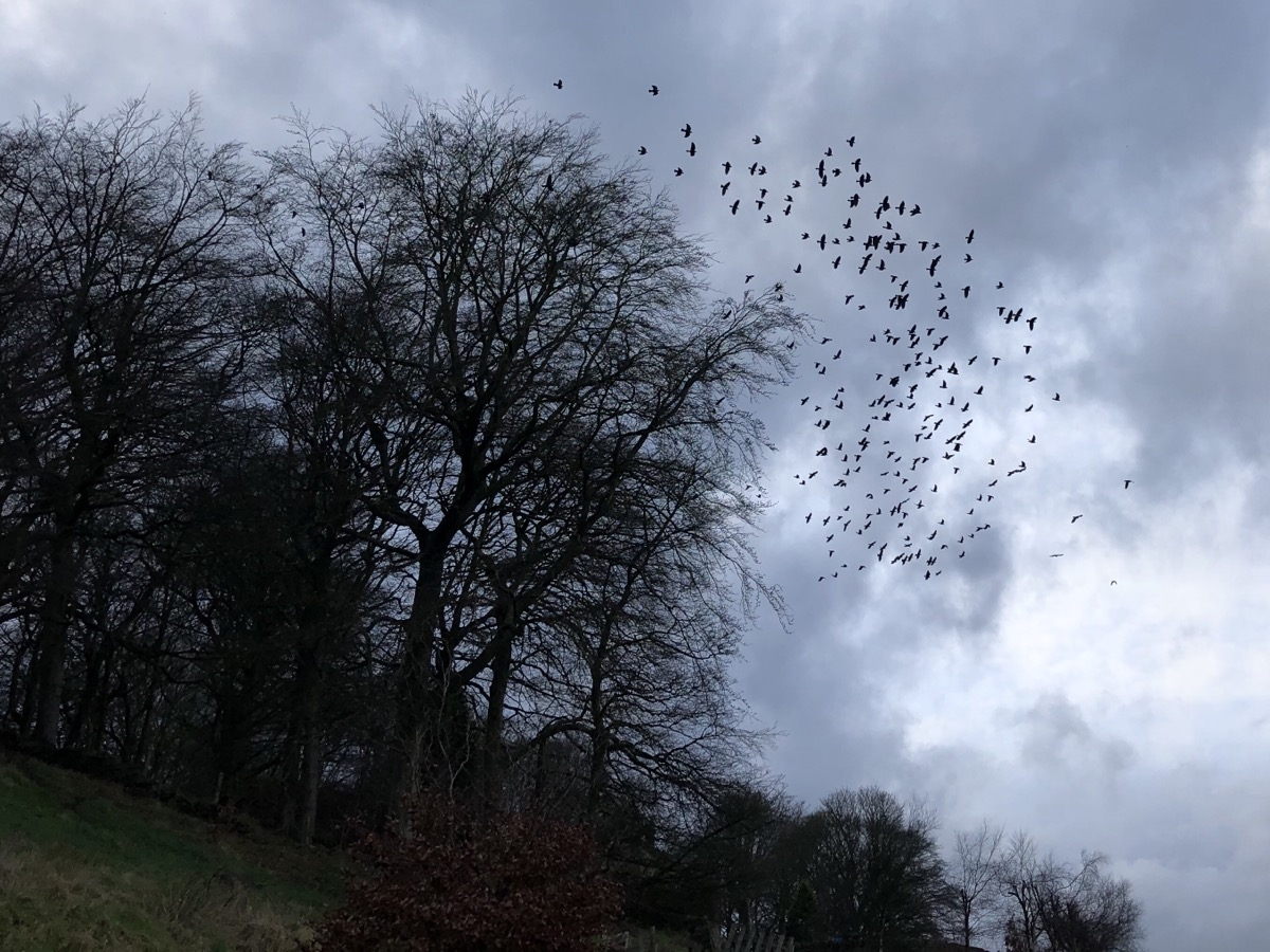 Jackdaws roosting in Crow Nest Wood