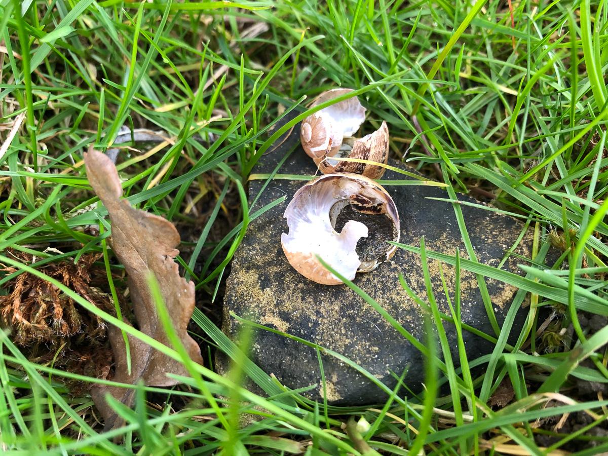 Thrush's snail 'anvil'