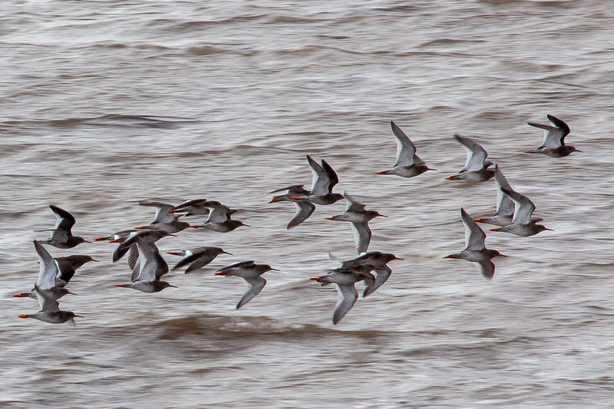 Flock of redshank