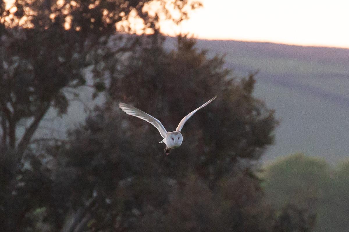 Barn owl (with victim)