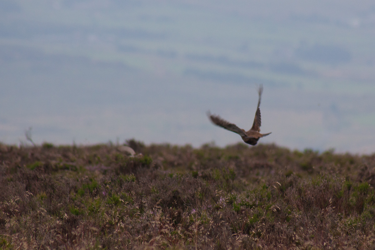 A flushed grouse heads off low across the heather.