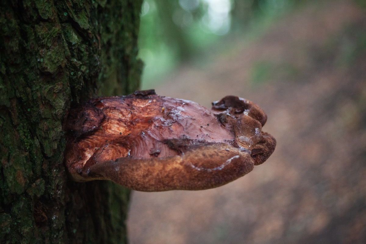 Beefsteak fungus (probably)