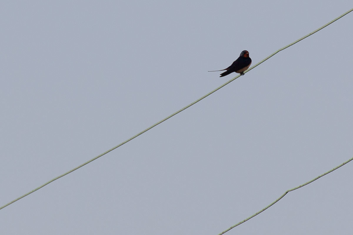The first swallow of summer